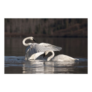 Flapping swan print photograph