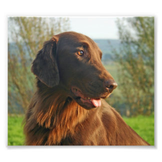 Flat Coated retriever dog beautiful photo, gift Photo