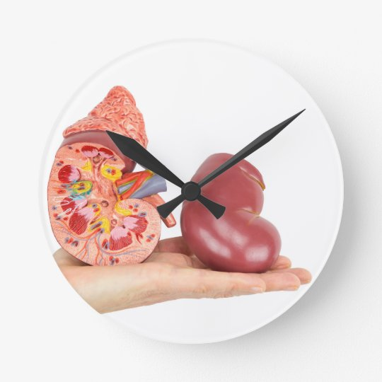 Flat hand showing model human kidney wallclock