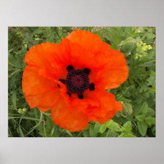 Fleur de pavot poster