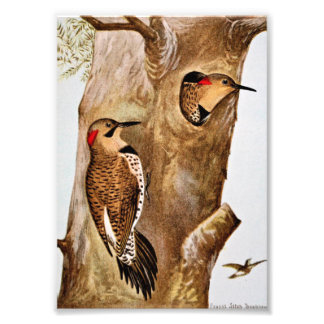 Flicker Birds Vintage Picture Photo Print