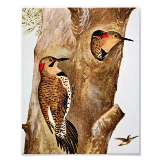 Flicker Birds Vintage Picture Photographic Print