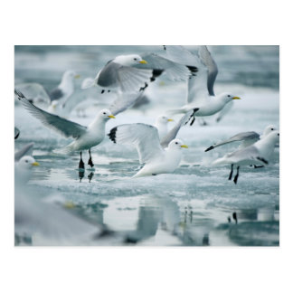 Flock of Black-legged Kittiwakes Postcard