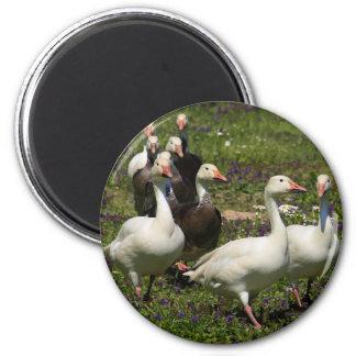 Flock of Ducks 6 Cm Round Magnet