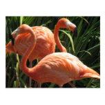 Flock of Flamingos Postcard