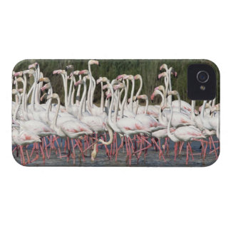 Flock of flamingos wading , France iPhone 4 Covers