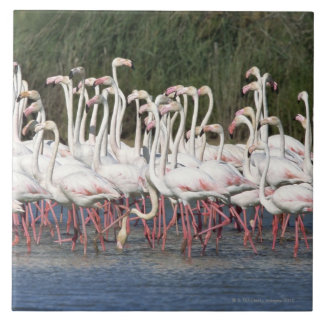 Flock of flamingos wading , France Tile
