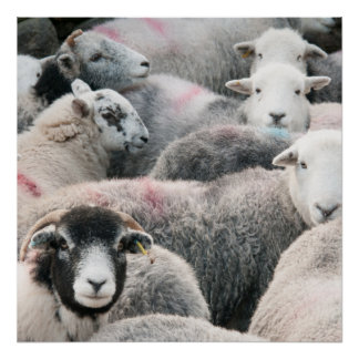 Flock Of Herdwicks Poster