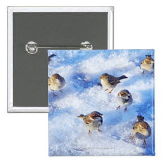 Flock of House Sparrows 'Passer domesticus' on 15 Cm Square Badge