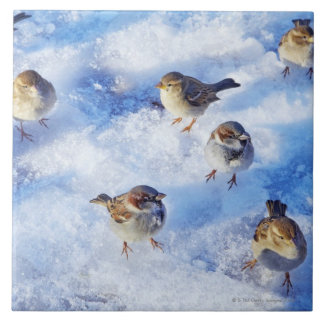 Flock of House Sparrows 'Passer domesticus' on Tile