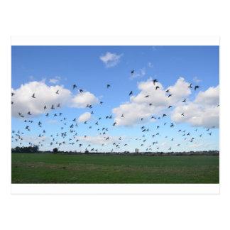 Flock Of Pigeons Postcard