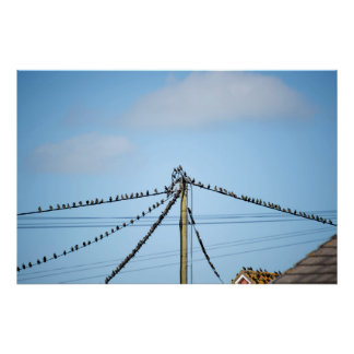 flock of starling birds on the wires and roofs poster