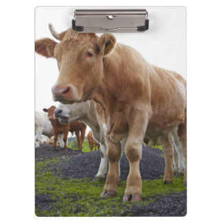 Flock of young white cows in Scottish field Clipboards