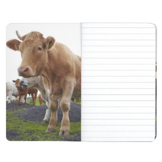 Flock of young white cows in Scottish field Journal