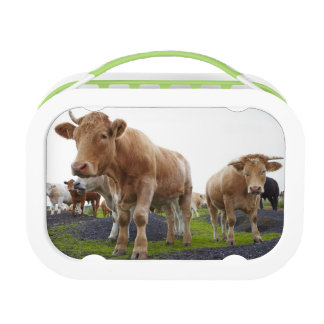 Flock of young white cows in Scottish field Lunch Box