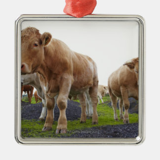 Flock of young white cows in Scottish field Silver-Colored Square Decoration