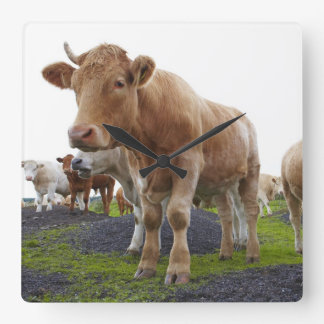 Flock of young white cows in Scottish field Square Wall Clock