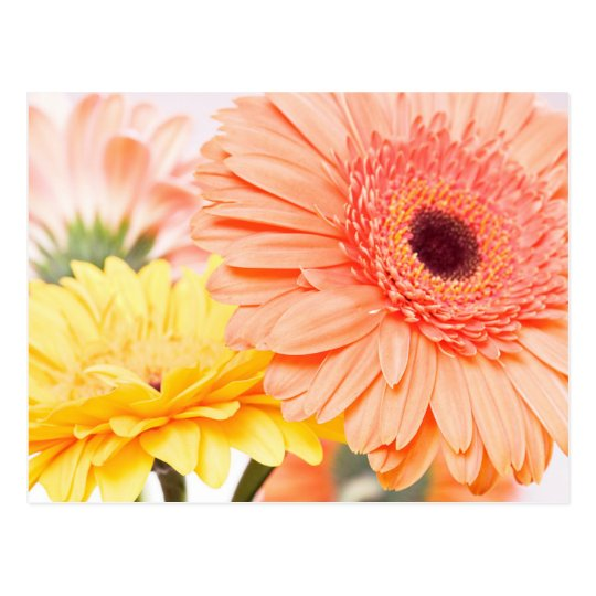 Floral Peach Orange And Yellow Gerbera Daisies Postcard