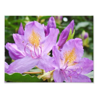 Floral Photograhpy prints Purple Rhododendrons