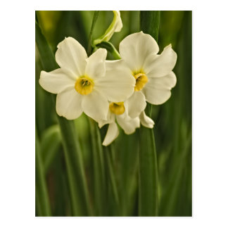 Floral Photography:  White Spring Narcissus Postcard