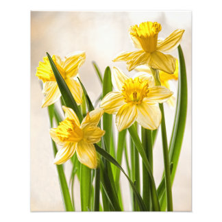 Floral Photography:  Yellow Spring Daffodils Photo Print