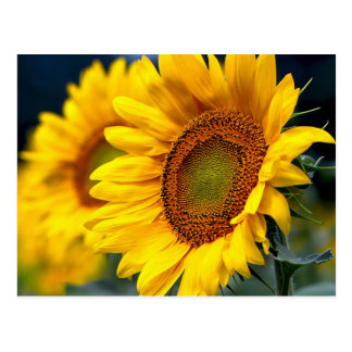 Floral Yellow Sunflowers - Hello, Love, Thank You Postcard