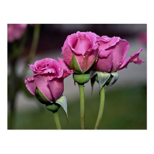 Floribunda 'Angel Face' Roses Postcards
