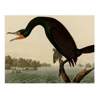 Florida Cormorant Postcard