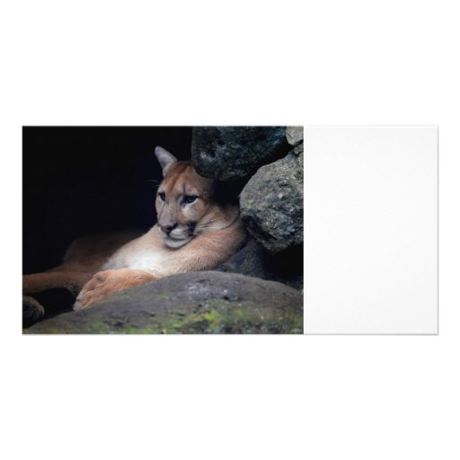 florida cougar eyes open against rocks photo card template