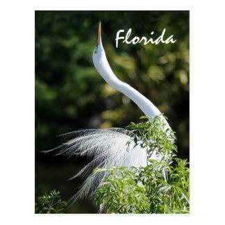 Florida Egret ! Postcard