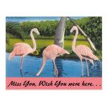 Florida, Flamingos Postcard