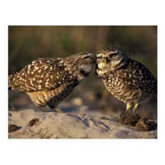 Florida, Fort Myers. Burrowing Owl pair bonding Postcard