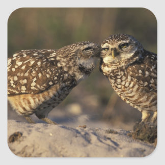 Florida, Fort Myers. Burrowing Owl pair bonding Square Sticker