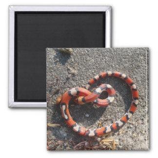 Florida Milk Snake Photo Magnet - Reptile Series