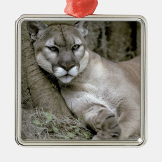 Florida panther, Felis concolor coryi, Christmas Ornament