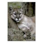 Florida panther, Felis concolor coryi, Greeting Card