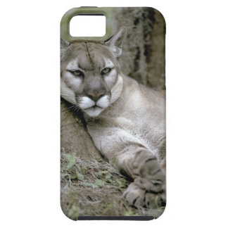 Florida panther, Felis concolor coryi, iPhone 5 Cover