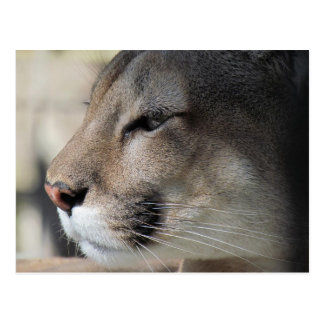 Florida Panther Postcard