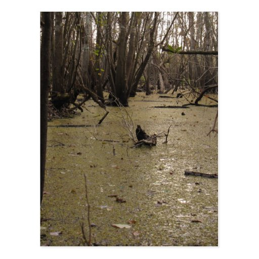 Florida Swamp Post Cards