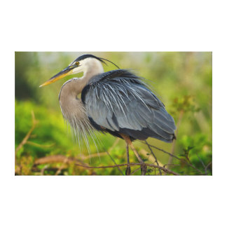 Florida, Venice, Great Blue Heron breeding Canvas Print