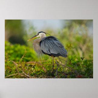 Florida, Venice, Great Blue Heron breeding Poster