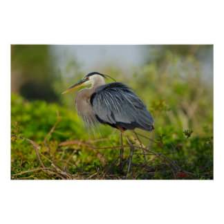 Florida, Venice, Great Blue Heron breeding Poster