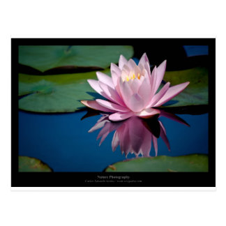 Flower 005 Pink Water lily Postcard