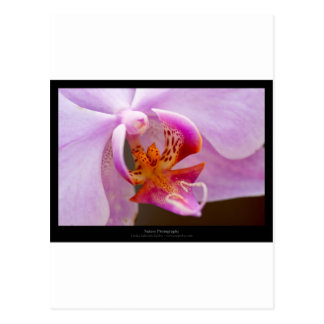 Flower 034 Pink orchid Post Cards