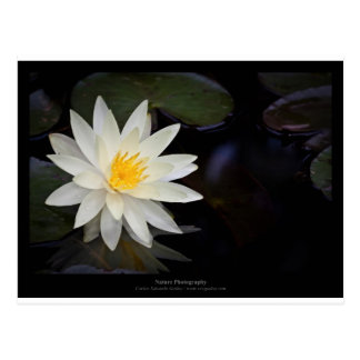 Flower 055 White Water Lily Postcard