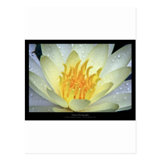 Flower 061 White Water Lily Postcard