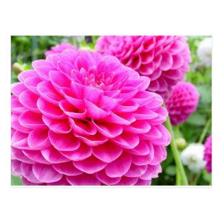 Flower 51A Dahlia Pink Magenta Postcard