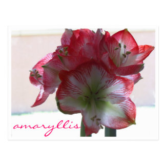 flower amaryllis bulb postcard