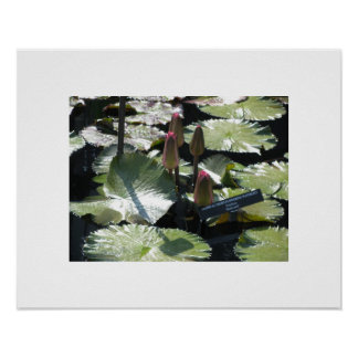 Flower Buds with Water Lilies at Longwood Gardens Posters