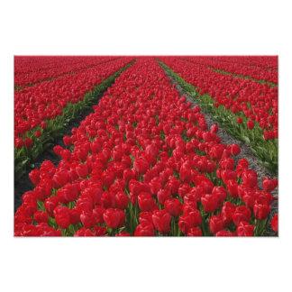 Flower field of tulips, Netherlands, Holland Photo